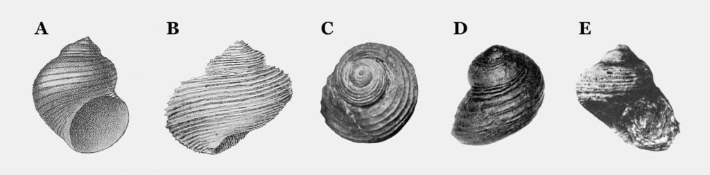 Figure 2. Historical Specimens of T. insectus and Shansiella carbonaria