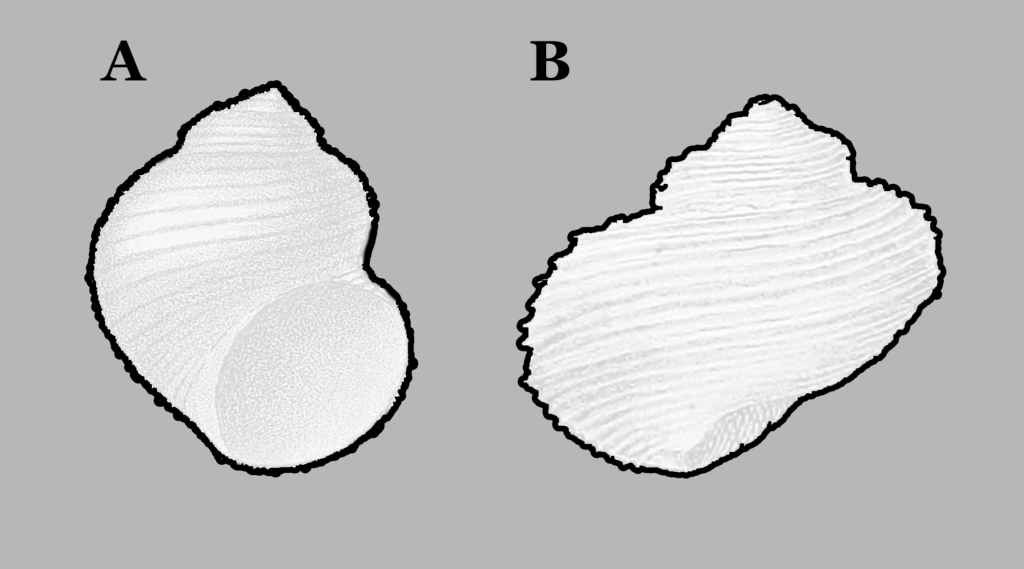 Figure 1. Outline of Turbo insectus compared to Pleurotomaria carbonaria