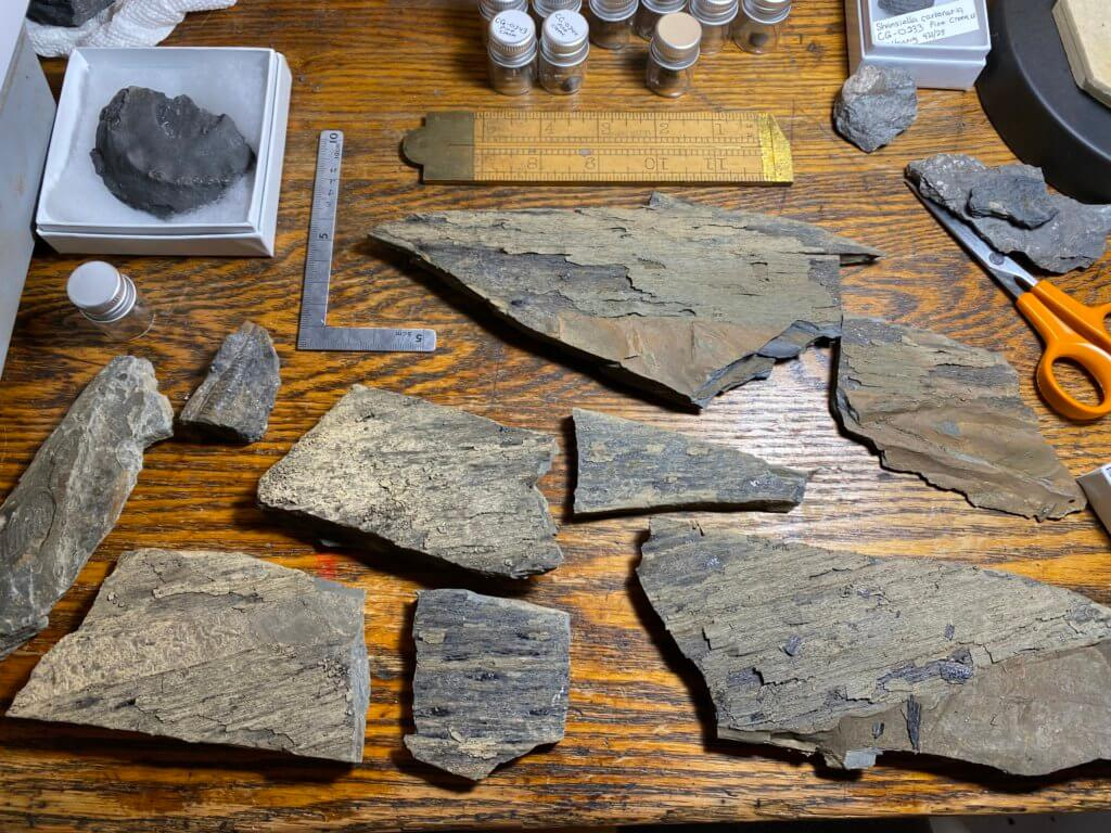 Cordaites pieces collected from the site.